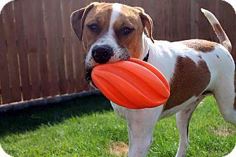 St. Bernard/Mastiff Mix Dog for adoption in West Richland, Washington - Apollo