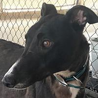 Greyhound Dog for adoption in Longwood, Florida - Yaahwannaah