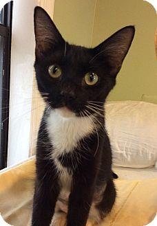 Domestic Shorthair Cat for adoption in Breinigsville, Pennsylvania - Anna