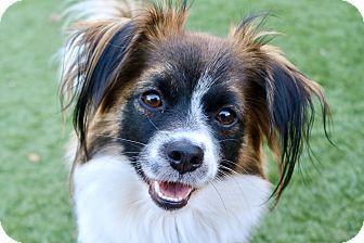 Papillon Mix Dog for adoption in Litchfield Park, Arizona - Bambi
