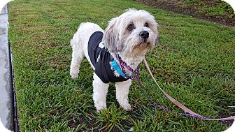 Lhasa Apso/Poodle (Standard) Mix Dog for adoption in Pasadena, California - Bailey