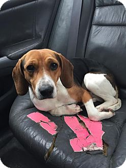 Beagle Mix Dog for adoption in Hillsboro, Missouri - McFly