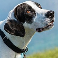 Adopt A Pet :: Curby 307 - Loxahatchee, FL