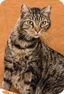 Domestic Shorthair Cat for adoption in Chesapeake, Virginia - Jiminy 34881405