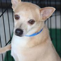 Adopt A Pet :: Banjo - Colorado Springs, CO