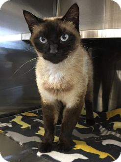 Siamese Cat for adoption in Oakdale, California - Griffin
