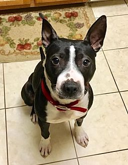 Bull Terrier/Labrador Retriever Mix Dog for adoption in Rockaway, New Jersey - Awesome Willie Lonestar
