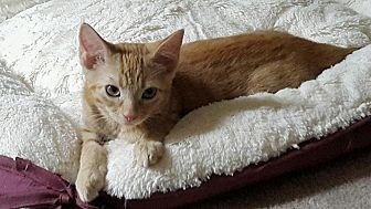 Domestic Shorthair Kitten for adoption in Duluth, Georgia - Sassy