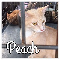 Adopt A Pet :: PEACH - Newaygo, MI