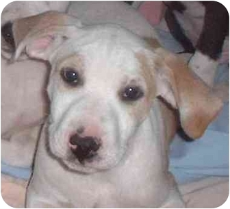 American Pit Bull Terrier/Treeing Walker Coonhound Mix Puppy for adoption in Bakersfield, California - Priscilla (Prissy)