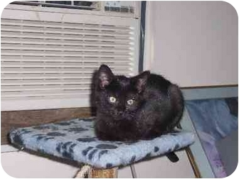 Domestic Shorthair Cat for adoption in Parkersburg, West Virginia - Spook