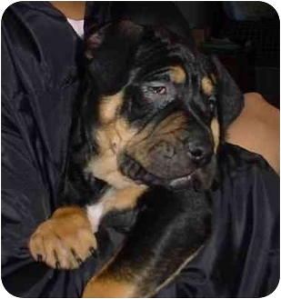 Rottweiler/Shar Pei Mix Puppy for adoption in Freedom Township, Ohio - Gunnar
