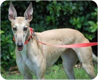 Greyhound Dog for adoption in Tampa, Florida - Orchid