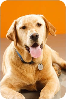 Labrador Retriever Dog for adoption in Portland, Oregon - Monk