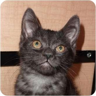 Domestic Shorthair Kitten for adoption in Toronto, Ontario - Tyson