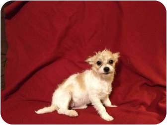 Terrier (Unknown Type, Small) Mix Puppy for adoption in Mission Viejo, California - MANDY