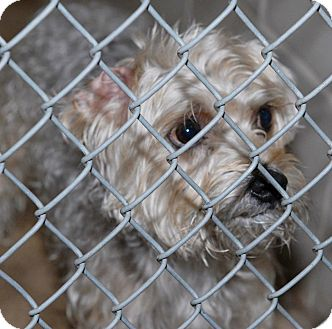Yorkie, Yorkshire Terrier/Poodle (Miniature) Mix Dog for adoption in Webster, Minnesota - Bubba