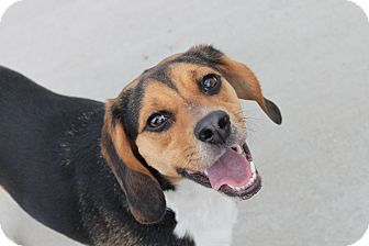 Beagle Mix Dog for adoption in HARRISONVILLE, Missouri - Kona
