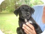 Labrador Retriever Mix Puppy for adoption in Old Bridge, New Jersey - Jena