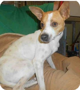 Fox Terrier (Smooth) Mix Dog for adoption in Yuba City, California - 7/30 Unnamed