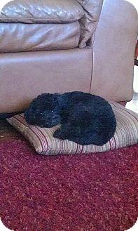 Poodle (Miniature) Mix Dog for adoption in Gustine, California - JOJO