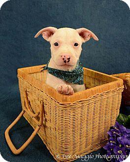 American Pit Bull Terrier Mix Dog for adoption in Lapeer, Michigan - Casanova