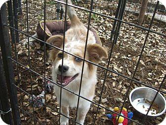 Australian Shepherd/Papillon Mix Puppy for adoption in Fair Oaks Ranch, Texas - Cricket