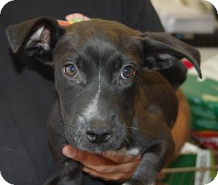 Pit Bull Terrier Mix Puppy for adoption in Brooklyn, New York - Gene