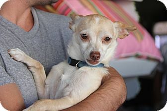 Chihuahua/Terrier (Unknown Type, Small) Mix Dog for adoption in Los Angeles, California - Stuart