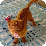Brussels Griffon/Terrier (Unknown Type, Small) Mix Dog for adoption in Austin, Texas - Chewbacca