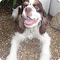 Adopt A Pet :: Chipper - Sugarland, TX