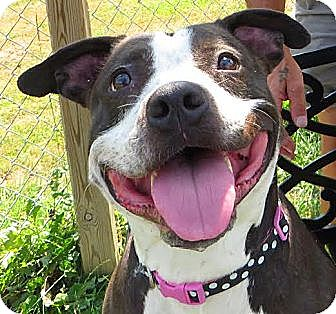 Pit Bull Terrier Mix Dog for adoption in Middletown, New York - Lady
