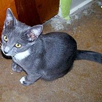 Domestic Shorthair Cat for adoption in Scottsdale, Arizona - Stasch