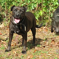 Pit Bull Terrier Mix Dog for adoption in Pleasant Plain, Ohio - Lilly and Brady
