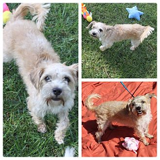 Cairn Terrier Mix Dog for adoption in Mesa, Arizona - PIPER - 5 YR CAIRN TERRIER FEM