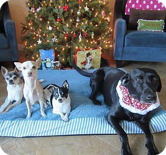 Chihuahua Mix Dog for adoption in San Diego, California - Savannah
