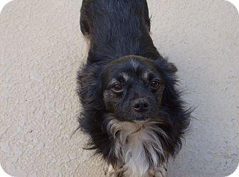 Chihuahua Dog for adoption in Dothan, Alabama - Levi