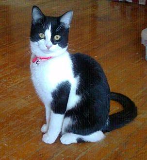 Domestic Shorthair Cat for adoption in Cincinnati, Ohio - Gypsy Rose