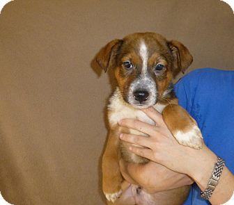 Australian Shepherd/Golden Retriever Mix Puppy for adoption in Oviedo, Florida - Miller