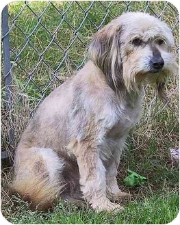 Lhasa Apso/Terrier (Unknown Type, Medium) Mix Dog for adoption in Mountain Home, Arkansas - Charlie