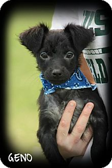 Chihuahua/Terrier (Unknown Type, Small) Mix Puppy for adoption in Cranford, New Jersey - Geno