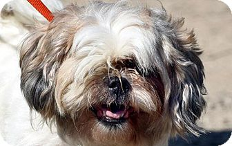 Lhasa Apso Mix Dog for adoption in New Haven, Connecticut - WILMA