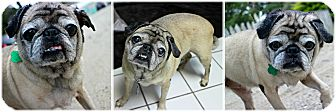Pug Dog for adoption in Forked River, New Jersey - Maxie
