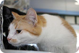 Domestic Shorthair Kitten for adoption in Grinnell, Iowa - Sonya
