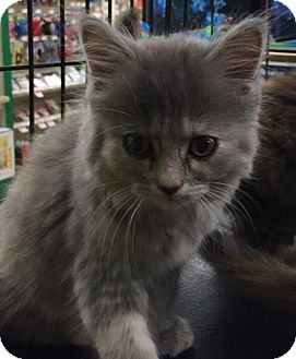 Persian Kitten for adoption in Ortonville, Michigan - Mona
