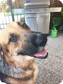 German Shepherd Dog Mix Dog for adoption in Houston, Texas - Rooney