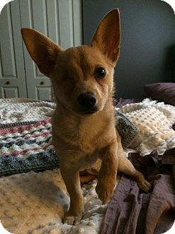 Chihuahua Mix Puppy for adoption in Hamilton, Ontario - Talulah