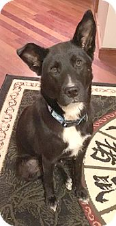 Labrador Retriever Mix Dog for adoption in Cincinnati, Ohio - Shadow