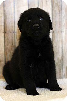 Chesapeake Bay Retriever Mix Puppy for adoption in Waldorf, Maryland - Chess
