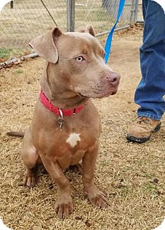 Pit Bull Terrier Mix Dog for adoption in Stillwater, Oklahoma - Snow